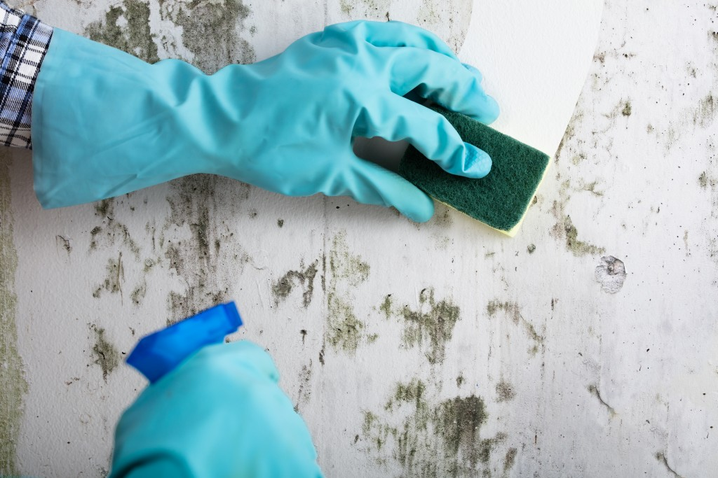 Cleaning the moldy wall with chemical cleaner and sponge
